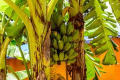 Bananas na árvore em um jardim imagem de stock royalty free