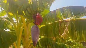 Bananas na árvore Um fim acima da vista vídeos de arquivo