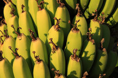 Bananas na colheita próxima Imagem de Stock