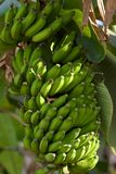 Bananas in nature Royalty Free Stock Photography