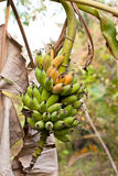 Bananas in nature Stock Photos