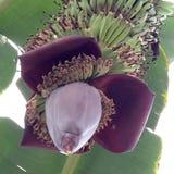 Bananas orgânicas Fotografia de Stock