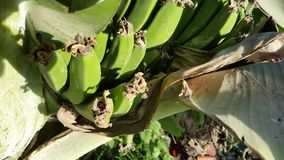 Bananas. Organic bananas in their infancy Royalty Free Stock Photography
