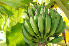 Bananas on palm Stock Images