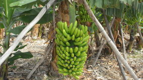 Bananas on plantation stock video