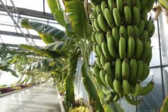 Banana greenhouse royalty free stock images