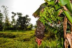 Bananas que colhem logo Fotografia de Stock