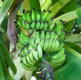 Bananas Ripening on the Tree. Beautiful green bananas ripening on the tree Royalty Free Stock Photos