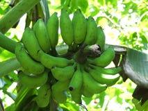 Bananas selvagens fotos de stock