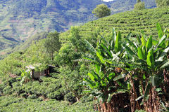 Bananas and tea plantation Royalty Free Stock Photo