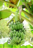 Bananas on a tree Royalty Free Stock Photography