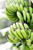 Bananas on tree. Green bananas on the tree closeup Royalty Free Stock Photo