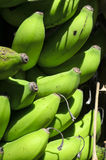 Bananas on Tree Royalty Free Stock Photography