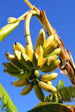 Bananas on the Tree. A Bunch of Bananas on a tree, contrast against a blue sky Royalty Free Stock Photography