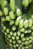Bananas on Tree Royalty Free Stock Photos