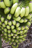 Bananas on Tree Royalty Free Stock Image