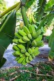Bananas on tree. Bunch of ripening bananas on tree Stock Photo