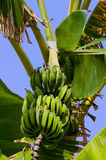Bananas tree Stock Image