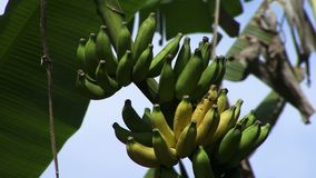 Bananas on a tree in the Amazon with sound. Bananas hanging from tree in the Amazon with sound stock footage