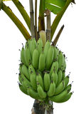 Bananas on tree Stock Photography