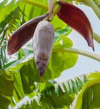 Bananas tree flower Royalty Free Stock Photo