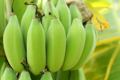 Bananas on the tree. Green bananas on the tree Stock Images