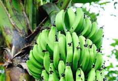 Bananas on tree Stock Images