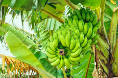 Bananas on tree Royalty Free Stock Photos