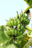 Bananas tree Royalty Free Stock Image