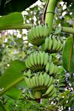 Bananas on the tree. Many green balls - Natural dock in the garden Stock Photo
