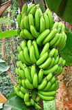 Bananas. Unripe bananas in the jungle close up Stock Photo