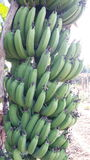 Bananas verdes Foto de Stock Royalty Free
