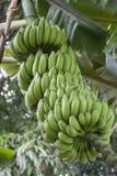 Bananas verdes imagem de stock royalty free