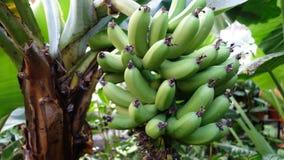 Bananas verdes na árvore foto de stock