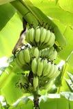 Bananas verdes na árvore Imagem de Stock Royalty Free