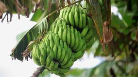 Bananas verdes na árvore video estoque