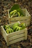 Bananas verdes nas caixas de madeira Fotografia de Stock Royalty Free