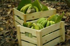 Bananas verdes nas caixas de madeira Fotos de Stock