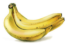 Bananas. Watercolor with bananas on white background Royalty Free Stock Photography