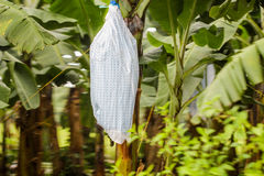 Bananas are wraped in plastic paper bag. Surroundings are palm trees and shows how bananas are growing in the farm. In Latin and South America Royalty Free Stock Photos