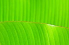 Bananblad Arkivbild