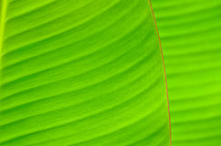 Bananblad Arkivbilder