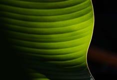 Bananblad Arkivfoton