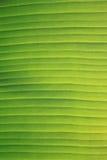bananblad Fotografering för Bildbyråer