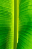 bananblad Royaltyfri Fotografi
