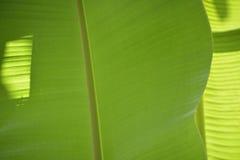 bananblad Royaltyfri Bild