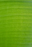 bananblad Arkivfoto