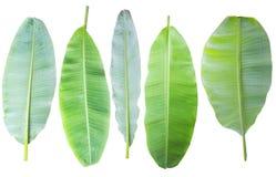 bananblad Isolerat på vitbakgrund med den snabba banan arkivbild