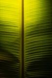 Bananblad med ljus Royaltyfri Fotografi
