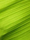 Bananblad med vattendroppar Royaltyfria Bilder